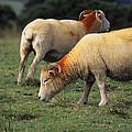 Sheep by David Aubrey
