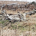 Short Eared Owl In Flight by Daryl Hanauer