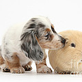 Silver Double Dapple Dachshund Pup by Mark Taylor