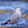 Silver Gull by Paul Svensen