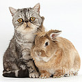 Silver Tabby Cat And Lionhead-cross by Mark Taylor