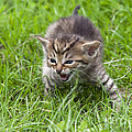 Small Kitten In The Grass by Michal Boubin