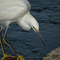 Snowy Egret 8 by Ernie Echols