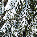 Snowy Fir Tree by Sami Sarkis