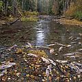 Sockeye Salmon Spawning by David Nunuk