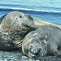 Southern Elephant Seals by Doug Allan