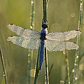 Southern Skimmer Orthetrum Brunneum by Konrad Wothe