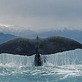 Sperm Whale Tail New Zealand by Flip Nicklin