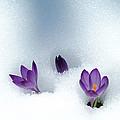 Spring Crocus by Ulrich Kunst And Bettina Scheidulin