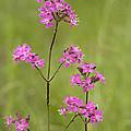 Sticky Catchfly (lychnis Viscaria) by Bob Gibbons