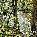 Stream Monongahela National Forest by Thomas R Fletcher