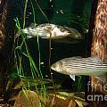 Striped Bass In Aquarium Tank On Cape Cod by Matt Suess