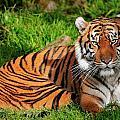 Sumatran Tiger  by Bill Dodsworth