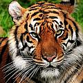 Sumatran Tiger Portrait by Bill Dodsworth