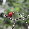 Summer Tanager by Travis Truelove