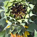 Sunflower 9 by Pamela Cooper