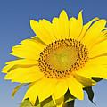Sunflower by Franz Aberham