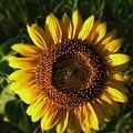 Sunflower by Trish Clark