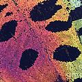 Sunset Moth Urania Ripheus by Ted Kinsman