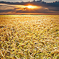 Sunset Wheat by Meirion Matthias