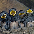 Swallow Chicks by Georgette Douwma
