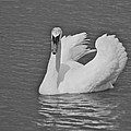 Swan by Michael Peychich