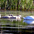 Swans In Hue Pallet by Douglas Auld