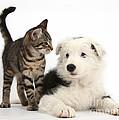 Tabby Kitten & Border Collie by Mark Taylor