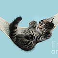 Tabby Kitten In Hammock by Mark Taylor