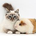Tabby-point Birman Cat And Guinea Pig by Mark Taylor
