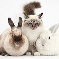 Tabby-point Birman Cat And Rabbits by Mark Taylor