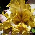 Tall Bearded Iris Named Butterfingers by J McCombie
