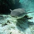 Tawny Nurse Shark Nebrius Ferrugineus by Mike Parry