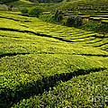 Tea Gardens by Gaspar Avila