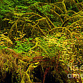 Temperate Rain Forest by Adam Jewell