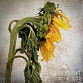 Textured Sunflower by Bernard Jaubert