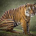 The Sumatran Tiger  by Saija  Lehtonen