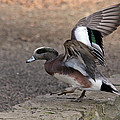 American Wigeon Waterfowl by Athena Mckinzie