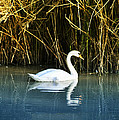 The White Swan by Bill Cannon