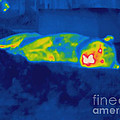 Thermogram Of A Tiger by Ted Kinsman