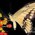 Thoas Swallowtail Butterfly by Terry Elniski