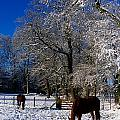 Thoroughbred Horses, Mares In Snow by The Irish Image Collection