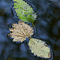 Three Leaves by Sean Griffin