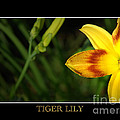 Tiger Lily by David Weeks