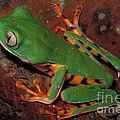 Tiger-striped Monkey Frog by Dante Fenolio
