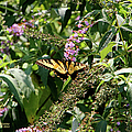 Tiger Swallowtail Butterfly by Ericamaxine Price