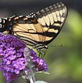Tiger Swallowtail Butterfly by Jeanne Kay Juhos