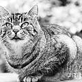 Tomcat by Frank Tschakert