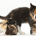 Tortoiseshell Kitten With Baby by Mark Taylor