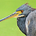 Tricolor Heron Portrait by Dave Mills